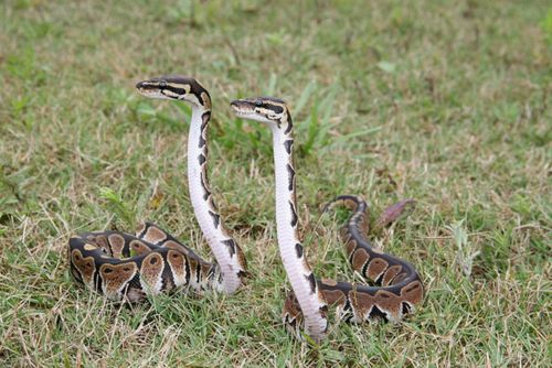 how to find snakes in the wild