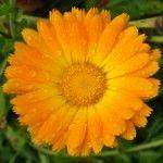 Egyszerű körömvirág krém