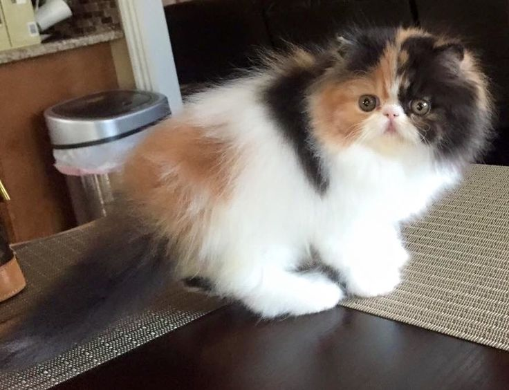 Flat faced persian kittens for sale in texas