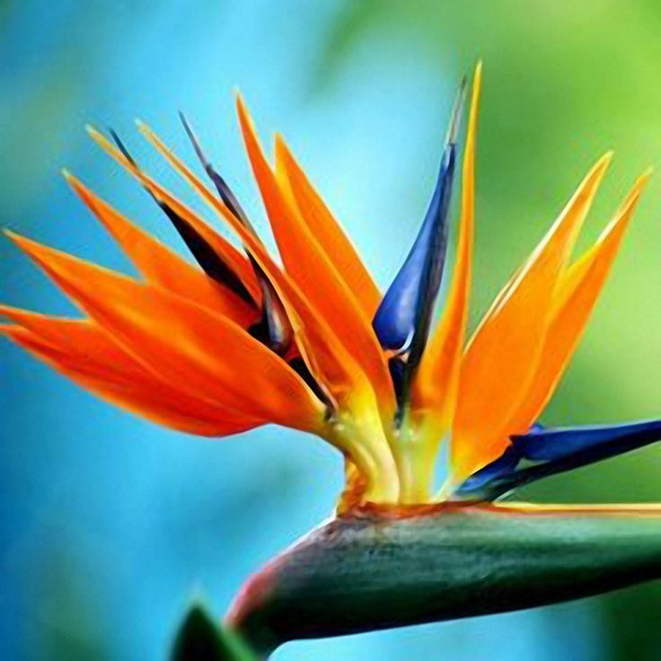 Favorable Egrow 100PCS Strelitzia Bonsai Seeds Bird of Paradise Flowers Seed Mix Color ForGarden Planting - NewChic Mobile