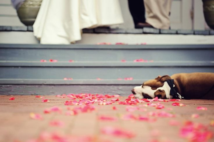 15 Times Pit Bulls Made Weddings Infinitely Better. Max is totally wiped out after all day being the Ring bearer