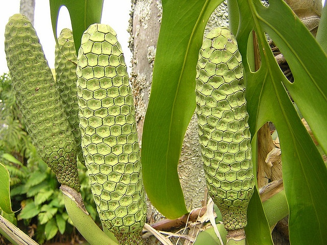 Deliciousmonsteradeliciousa fruit.  The decorative plant grows as a creeping vine, producing a 10-12 inch long fruit that looks somewhat similar to green corn.  Unripe fruit has an unpleasant odour, but once the scales have popped off, the tasty pineapple-like fruit below can be cut away and eaten.
