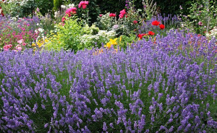 Lavendel-Sträucher können bei guter Pflege sehr alt werden