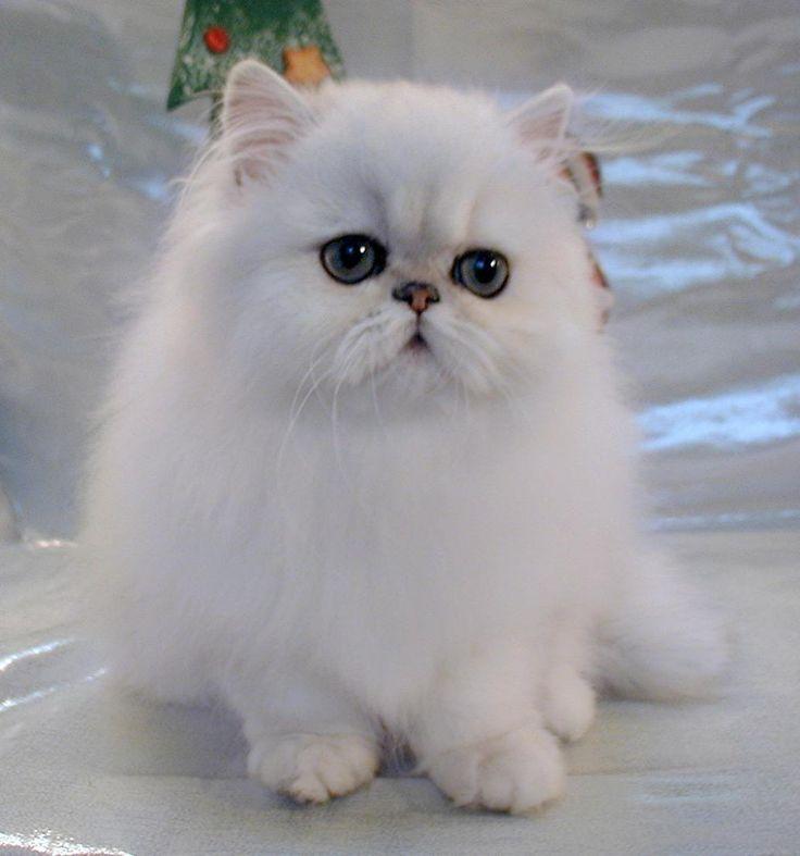 White Persian (aka Fancy Feast) cat