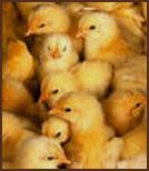 Raising Chicks-Requirements and care for newly hatched chickens