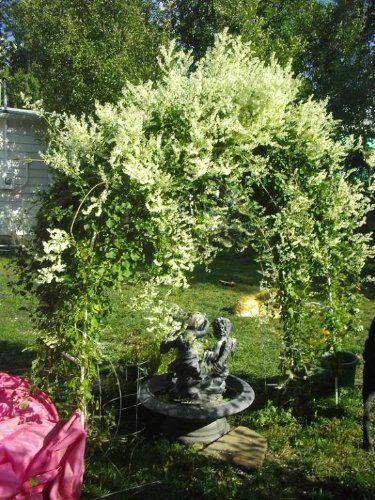 66 best GardeningVinesmore images on Pinterest Clematis vine