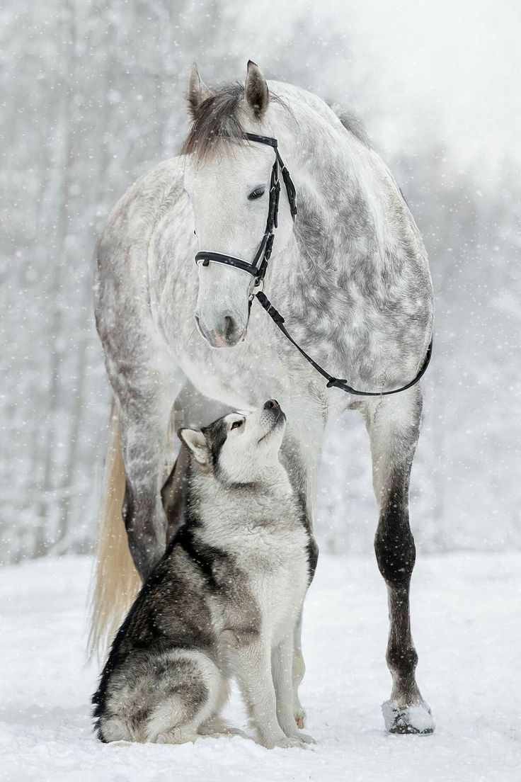 Just beautiful! Dapple grey horse and Husky in the snow.  Horses and dogs are great friends.