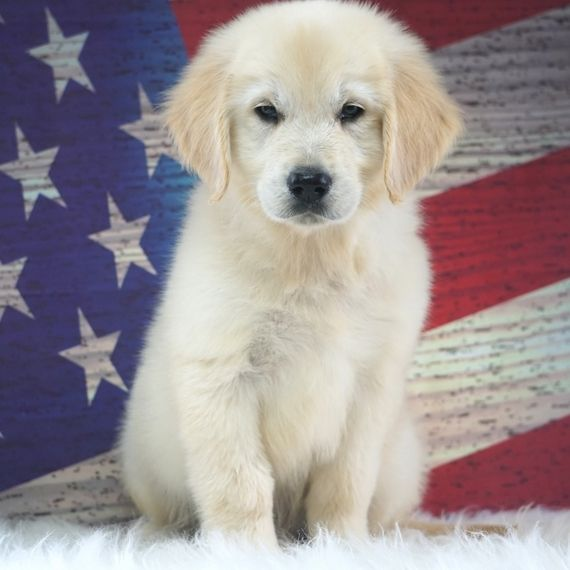 Martin Golden Retriever Puppy 572328 Puppyspot Golden
