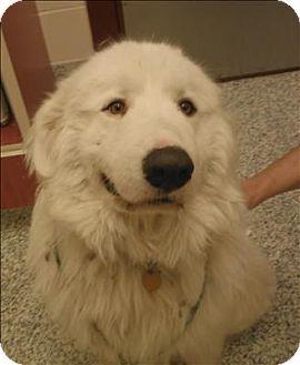 12/13/14 Golden, CO - Great Pyrenees. Meet Floyd, a dog for adoption. http://www.adoptapet.com/pet/12083459-golden-colorado-great-pyrenees