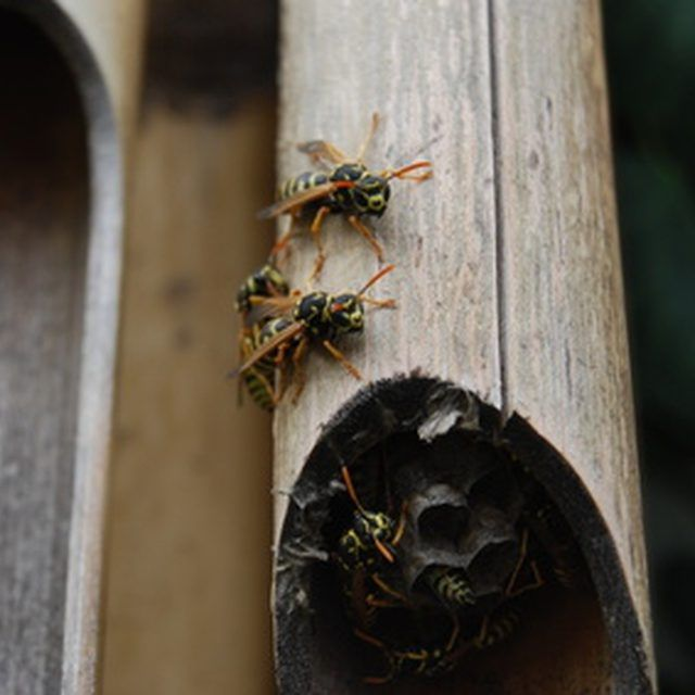 Repel wasps from wood naturally using household products.