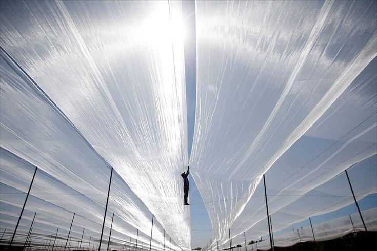 Αγροτικές εργασίες στην Χάιφα . Ένας άνδρας περπατά πάνω σε σχοινιά προκειμένου να απλώσει ένα δίχτυ πάνω από καλλιέργειες σε θερμοκήπιο στην πόληΧάιφα.