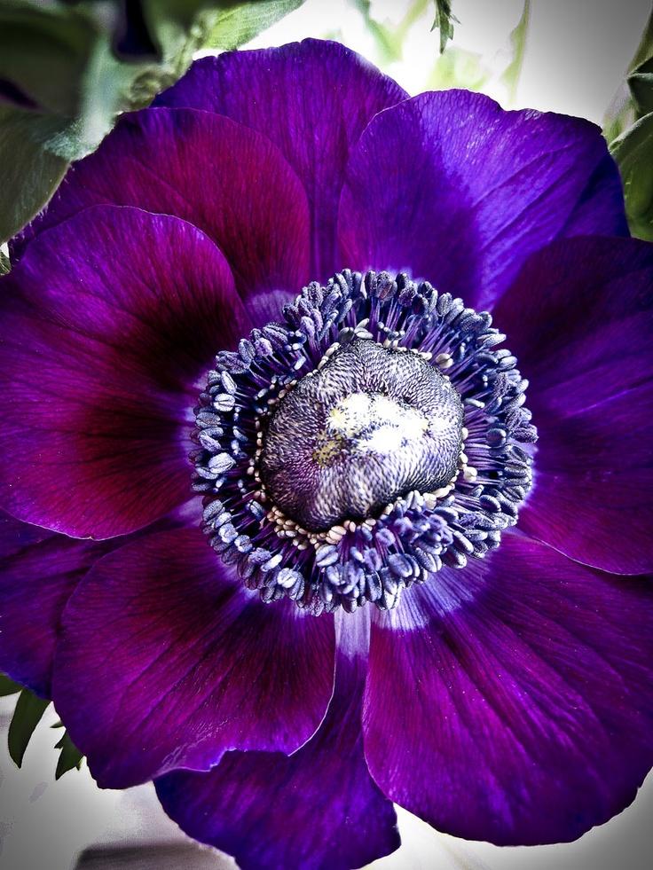 French anemone - ©evigglade - http://evigglade.blogspot.com/2011/12/jeg-franske-anemoner.html