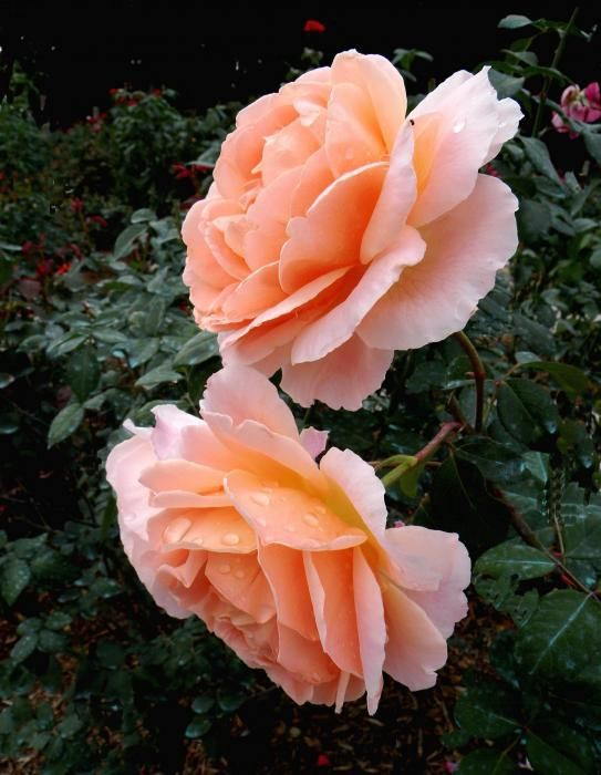 Sonya rose ... a favorite for its cinnamon sweet scent..... beautiful!