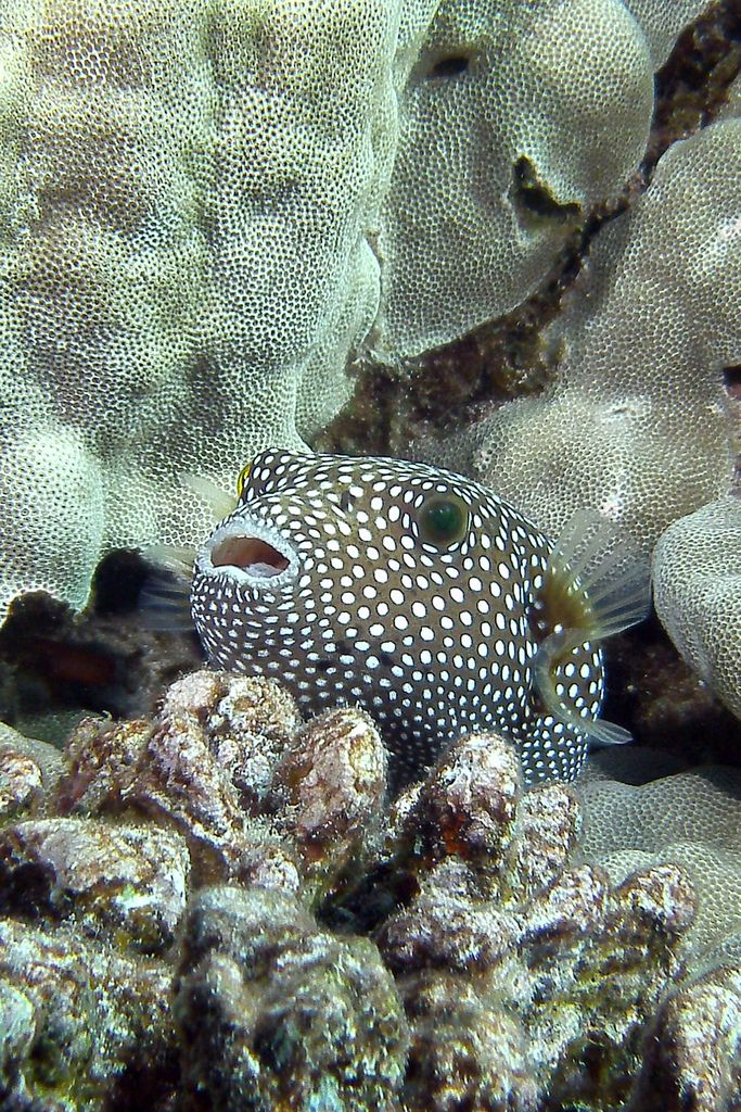 121 best images about fish puffer on pinterest animal for How much is a puffer fish