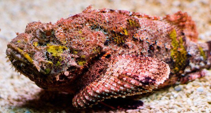 Pez piedra, pez más venenoso del mundo