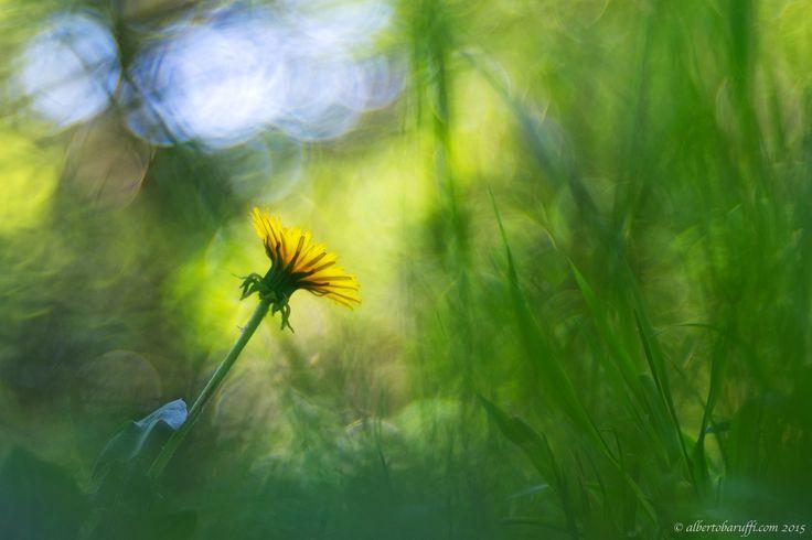 Tarassaco ordinary flower by Alberto Baruffi on 500px