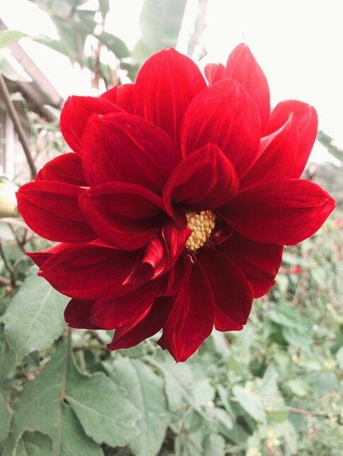 Dalia roja que decora el camino