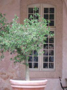 1000 id 233 es sur le th 232 me olivier en pot sur buis gravier et deco petit jardin