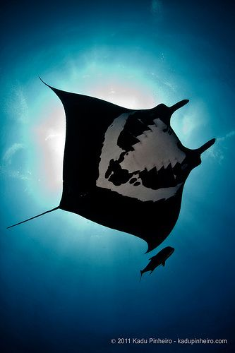 manta ray, escorted by a lone jack