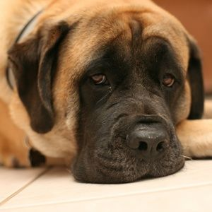 Old English Mastiff love                                                                                                                                                                                 More