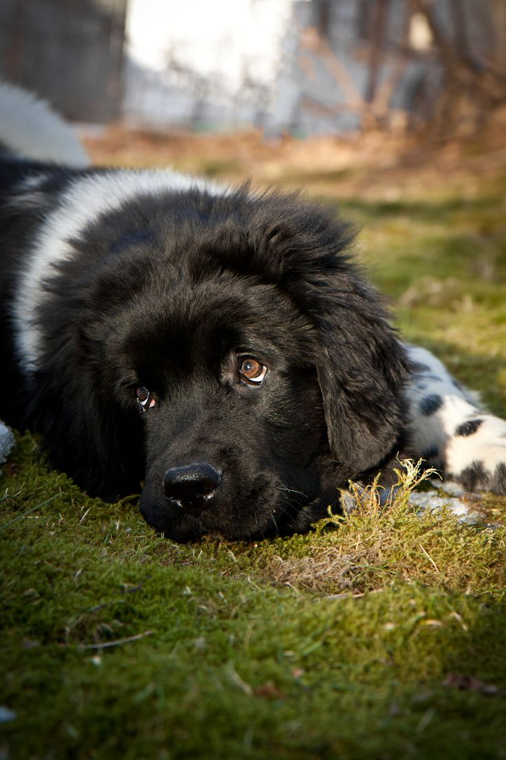 35 very beautiful newfoundland dog pictures - 131 Best Dogs Images On Pinterest Newfoundland Newfoundland Puppies And Big Dogs