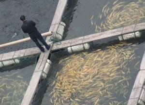 Raising Fish for Food: Backyard Fish Farming for Survival -by PAT BELLEW on JANUARY 27, 2014