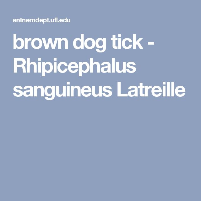 brown dog tick - Rhipicephalus sanguineus Latreille