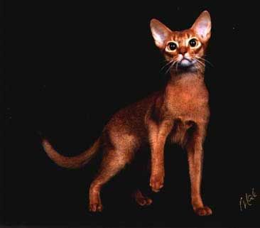 Ruddy Abyssinian Kittens For Sale | ... abyssinian kittens pictures abyssinian cats and kittens for sale.  I see another Ruddy in our future!