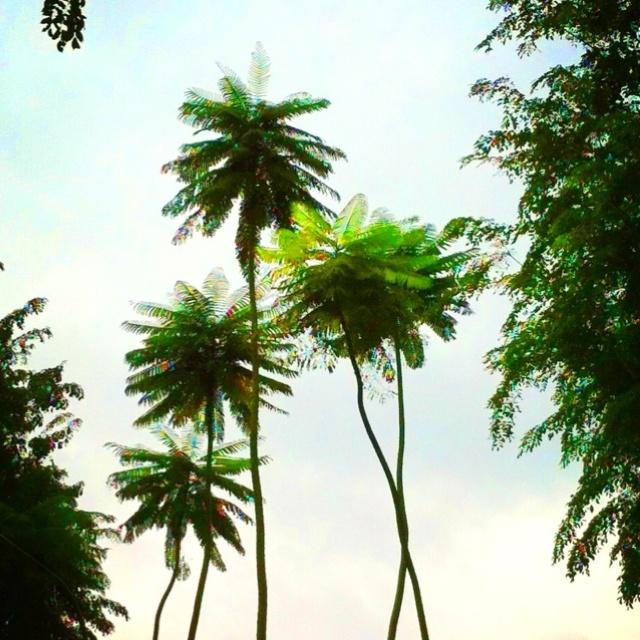 Palm trees on Scott's Road, Singapore