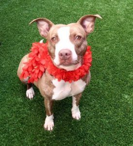 TO BE DESTROYED 06/24/17: ****CAN BE PUBLICLY ADOPTED**** A volunteer writes: Lexus had it all...a family with children of all ages, a doggy sibling, playtime with other pooches in the park, fun with her family, a large yard to romp and sleep under the stars. Then her humans lost their home, and she lost her family. This is tough. Lexus was pretty confused when she arrived at the care center, but as the good girl and the well brought up pet she is, she is slowly bouncing back on her...