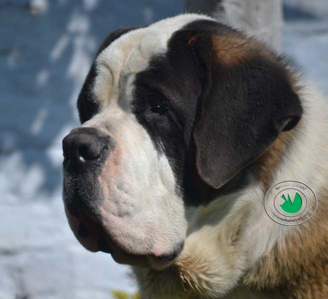 Dogue de Bordeaux or English Mastiff Dog and Puppies About Author:- Variety Kennel is india's largest dog breeders in india who is the loving person for pets and dogs and he has dogue de bordeaux dogs and puppies , french mastiff dogs,saint bernard dogs,st.bernard dog and puppy and people who want to buy lovable st.bernard puppy or dogue de bordeaux puppy.  For more info please visit our website:- http://www.varietykennel.com/blog/dogue%20de%20bordeaux%20price%20india.htm