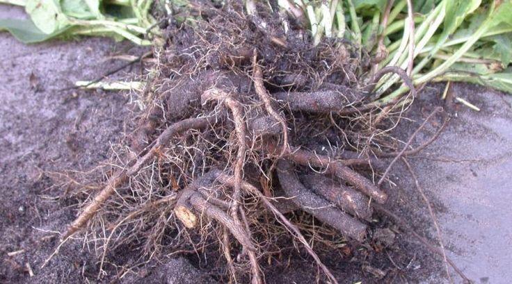 Diese drei Wurzeln wild wachsender Pflanzen können in einer hausgemachten Tinktur angesetzt und gegen verspannte Muskeln eingesetzt werden.