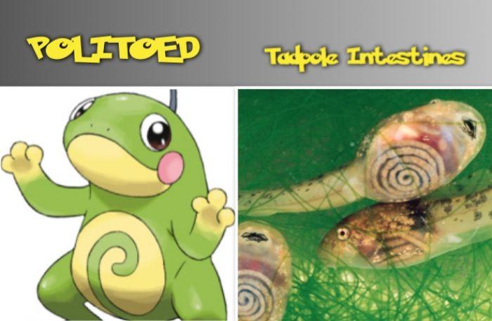 POLITOED tadpole intestines