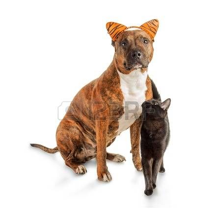 A small black cat is standing next to a seated striped pit bull
