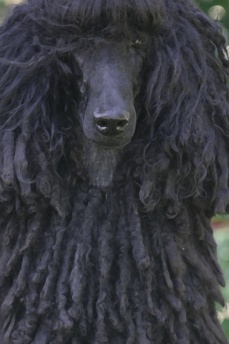 """black corded poodle ... love those """"dreads"""""""