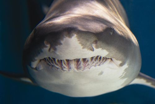 sand tiger shark  For all you wade girls to look at before our cruise! Lol!