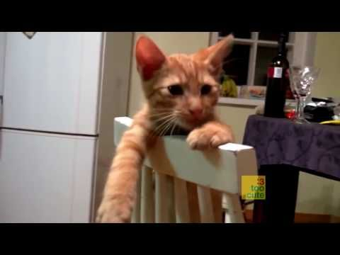 Funny cat videos 2016 - funny cat videos- try not to laugh - cat fails funny videos 2016 #12 - http://positivelifemagazine.com/funny-cat-videos-2016-funny-cat-videos-try-not-to-laugh-cat-fails-funny-videos-2016-12/ http://img.youtube.com/vi/hVhXRzJEUOY/0.jpg  Funny cat videos 2016 – funny cat videos 2016 – you can't stop laughing [part 1]. funny cats compilation 2016 – best funny cat videos ever || funny vines. funny cat … ***Get your free doma