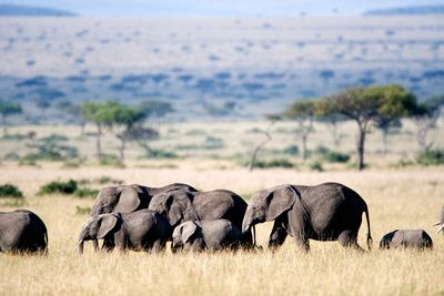 Herd of African Elephants (Loxodonta Africana) in Plains, Maasai Mara National Reserve, Kenya