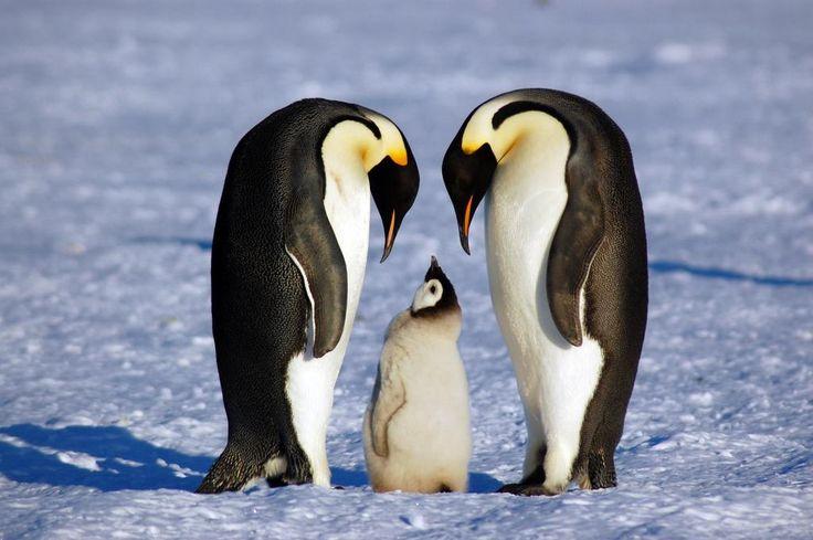 Пингвины влюбленные картинки