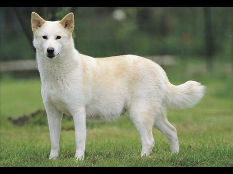 Canaan Dog Show 2016 WKC Westminster Kennel Club