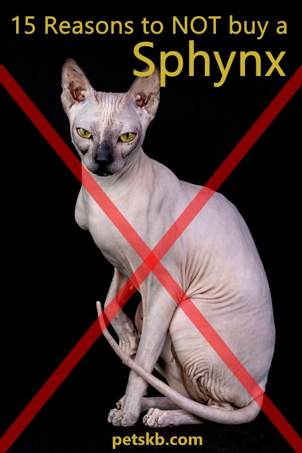 15 Reasons To Buy A Sphynx Cat The Pets Kb Sphynx Sphynx Cat Cat Reading