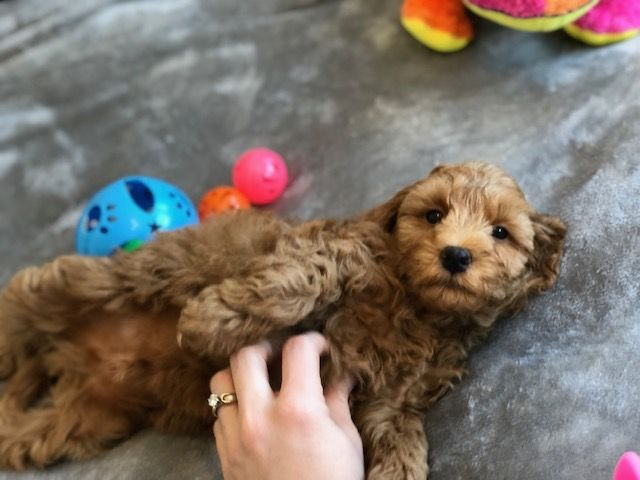 Miniature Labradoodle Labradoodle Labradoodle Puppies For Sale
