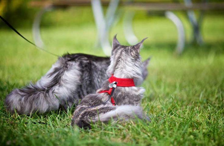 È veramente possibile addestrare un gatto al guinzaglio? I consigli utili e il video #mainecoon #gatti