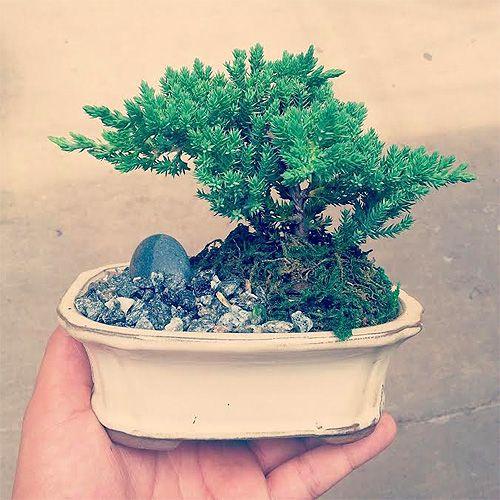 What to Consider When Choosing a Bonsai Tree
