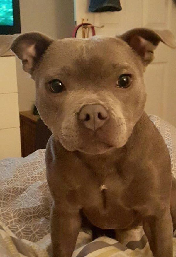 I think this is a Chipit  (half  pit bull half chihuahua) basically tiny put bulls