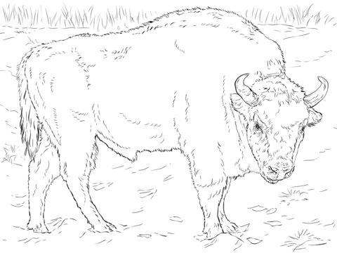 European Bison Coloring page