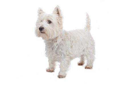 West+Highland+Terrier+Proper+Haircut | West Highland White Terrier