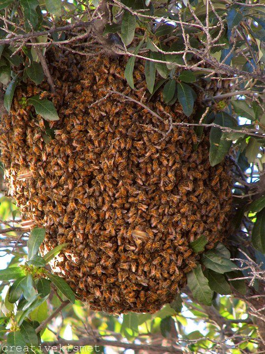 A swarm of bees in a natural setting.