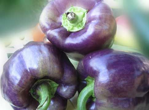 "Purple Bell Pepper, Nutrition Benefits, Calories When To Harvest What you don't know about ""Black Beauty Bell Peppers"", with PFWCES. http://durablehealth.net/food-nutrition/purple-bell-pepper-nutrition-benefits-calories-harvest/"