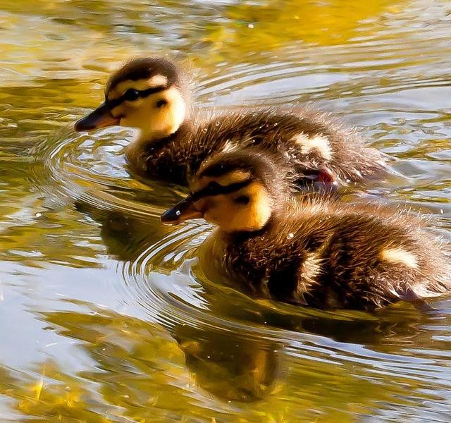 Mallard Ducks - can't wait till we start hatching this spring